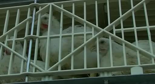 pollos pollitos fabrica denuncia crianza 34