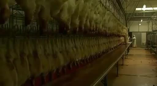 pollos pollitos fabrica denuncia crianza 38