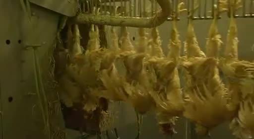 pollos pollitos fabrica denuncia crianza 39
