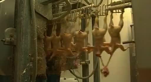 pollos pollitos fabrica denuncia crianza 40