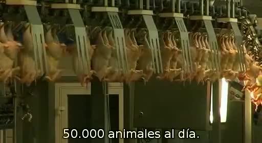 pollos pollitos fabrica denuncia crianza 48