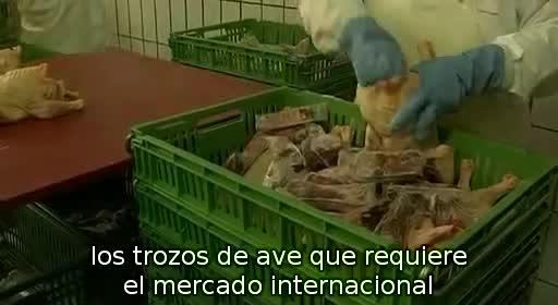 pollos pollitos fabrica denuncia crianza 51