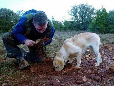 perro buscador trufas buscando