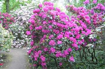 Parque Rhododendron flores Alemania