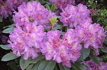 Parque Rhododendron flores