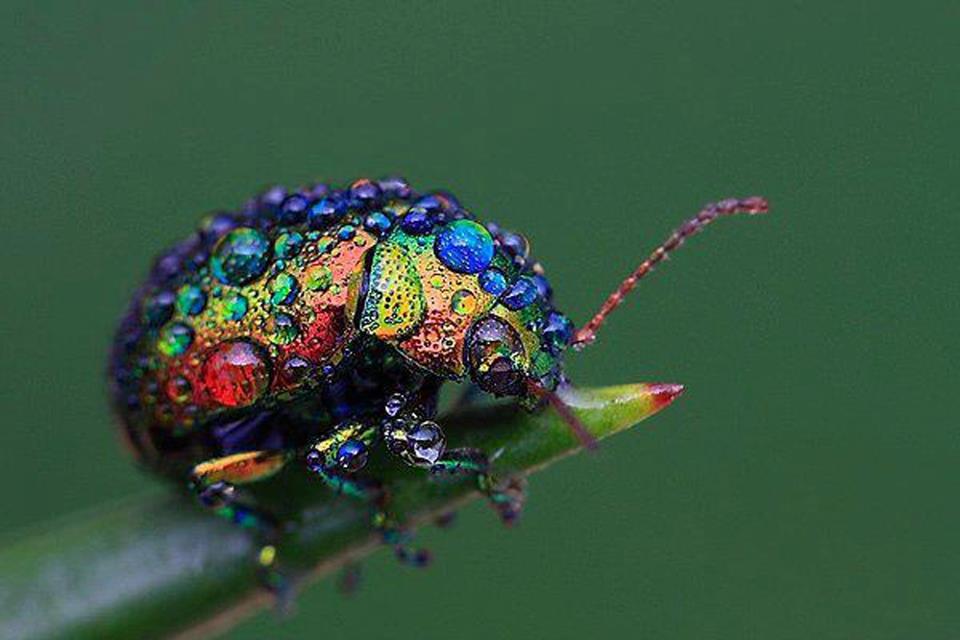 escarabajo colores gotas rocio