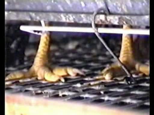 gallinas encerradas huevos