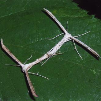 insectos palo copulando