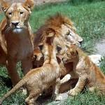 Machos celosos del reino animal y sus formas de copular
