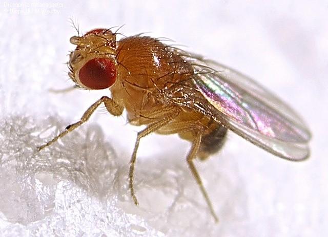 mosca vinagre Drosophila melanogaster
