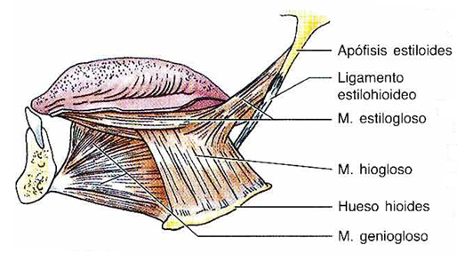 Lengua musculos