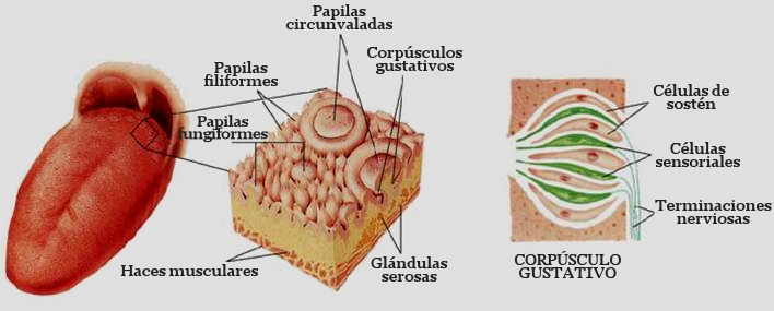 papilas gustativas corpusculo gustativo