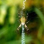 ¿Por qué las arañas no se quedan atrapadas en su propia red?