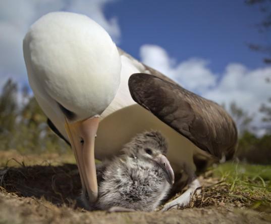 albatro cria midway