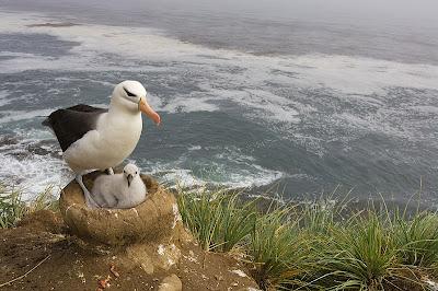 albatro cria