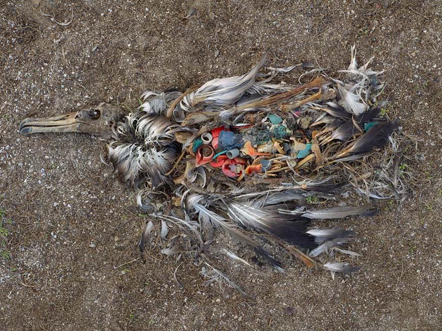 albatro muerto plastico