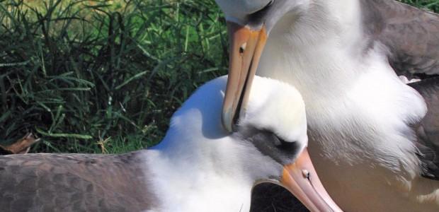 albatros laysan