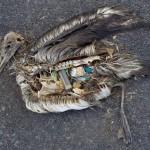 Midway, el drama del plástico y los albatros