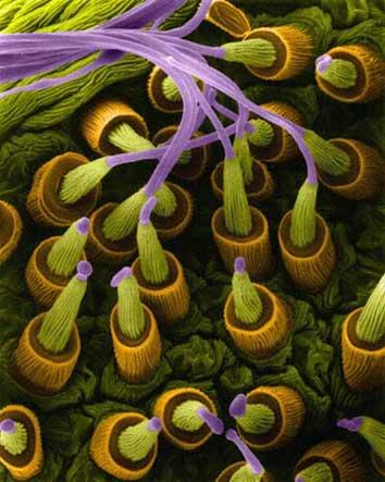 glandulas tela arana