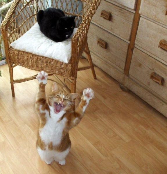 animales graciosos gato bostezando