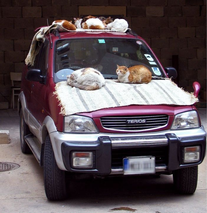 animales graciosos gatos coche