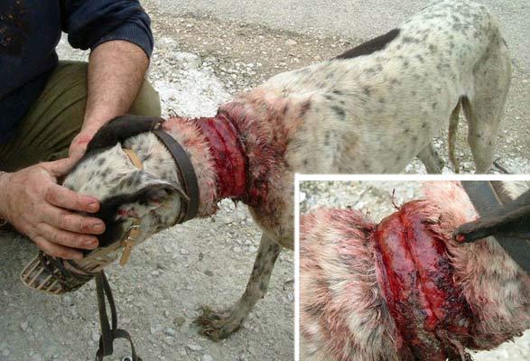 maltrato animales galgo
