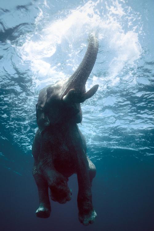elefante nadando acuatica foto