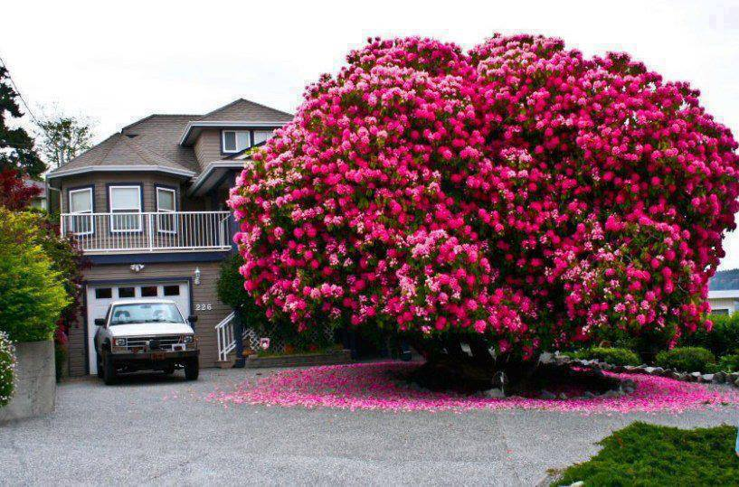 arbol azaleas Rhododrendon texas