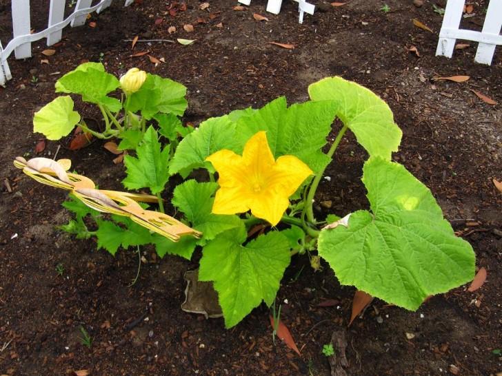 calabaza flor