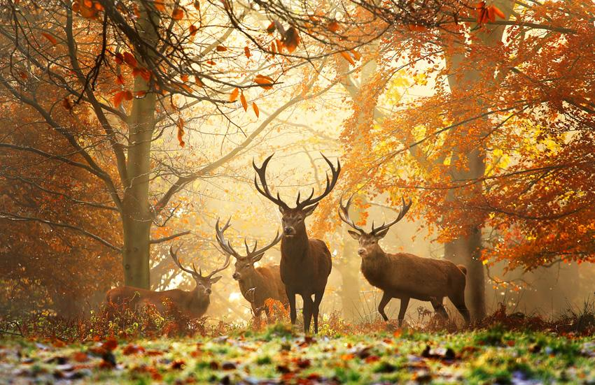 ciervos otoño Canada