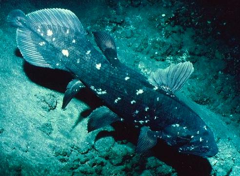 celacanto animal extinguido