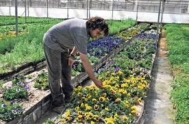 cultivar flores