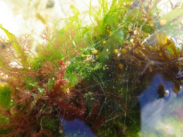 espinacia nido