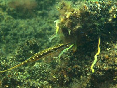espinosillo nido pez