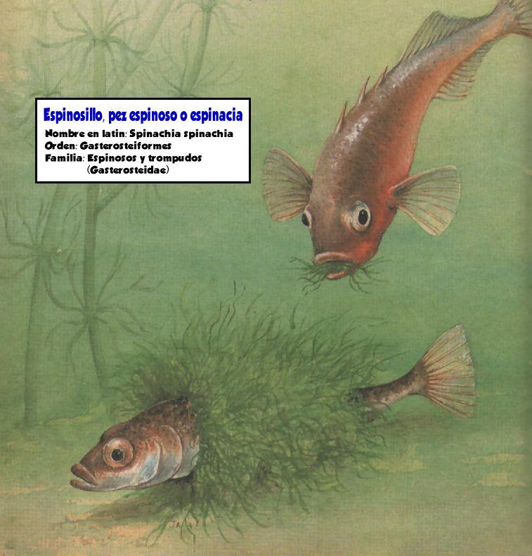 espinosillo pez espinoso espinacia