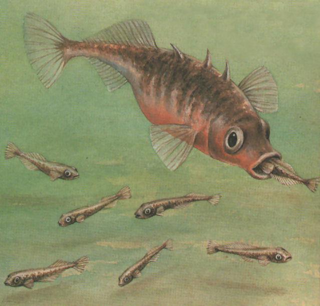 espinosillo pez pececillos padre