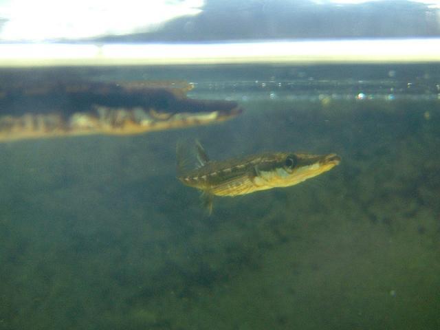espinosillo spinachia spinachia peces