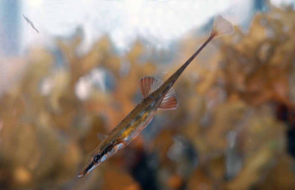 spinachia pez