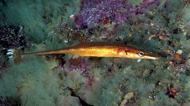 spinachia spinachia atlantico
