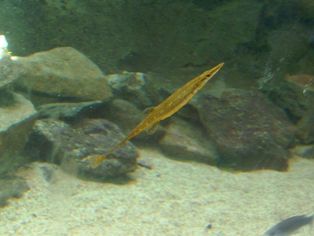 spinachia spinachia peces