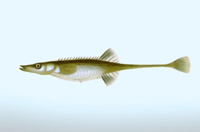 spinachia spinachia pez marino