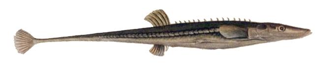 spinachia spinachia