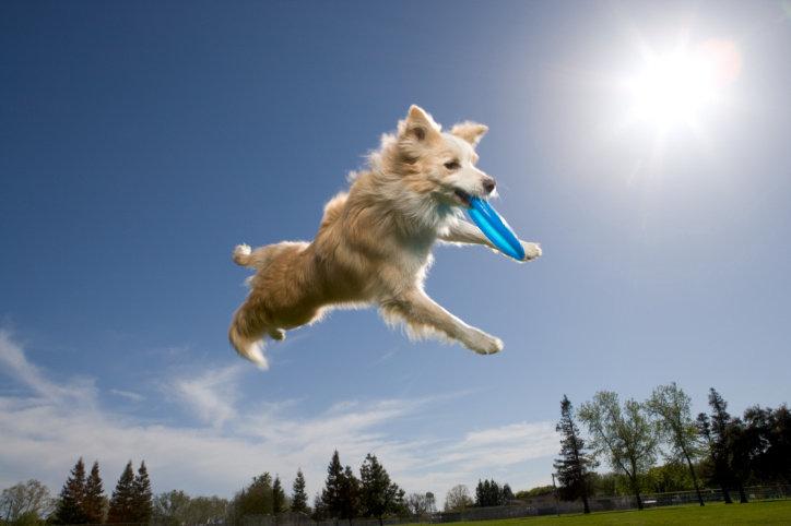 frisbee perro