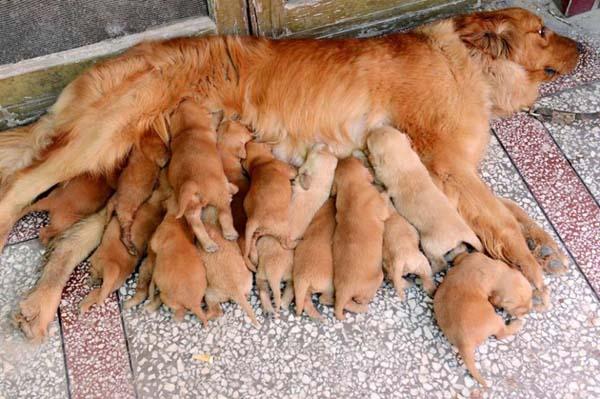 mama perro cachorros