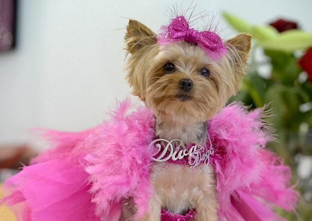 moda yorkshire terrier