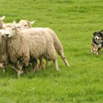Encerrar ovejas con un perro