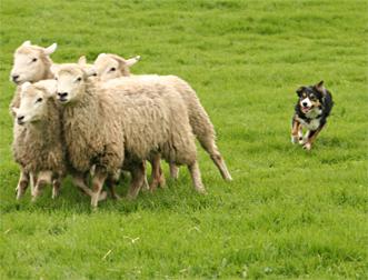 perro ovejas