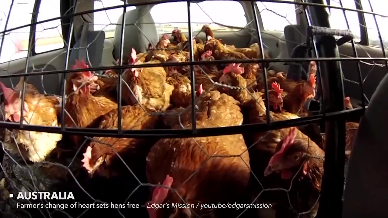 animales rescatados gallinas
