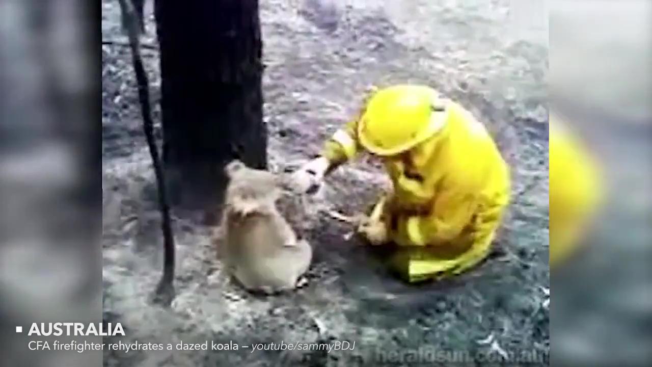 animales rescatados koala