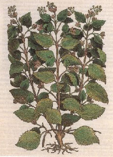 Francisco Hernandez botanica